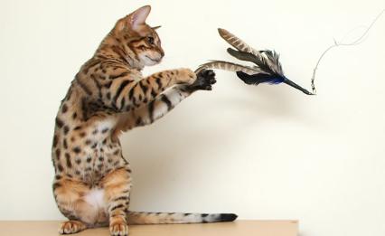 Giocare Con Il Gatto Ambulatorio Veterinario Marivet